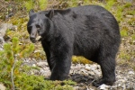 Image of Black Bear hunting
