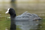 American Coot hunting in California