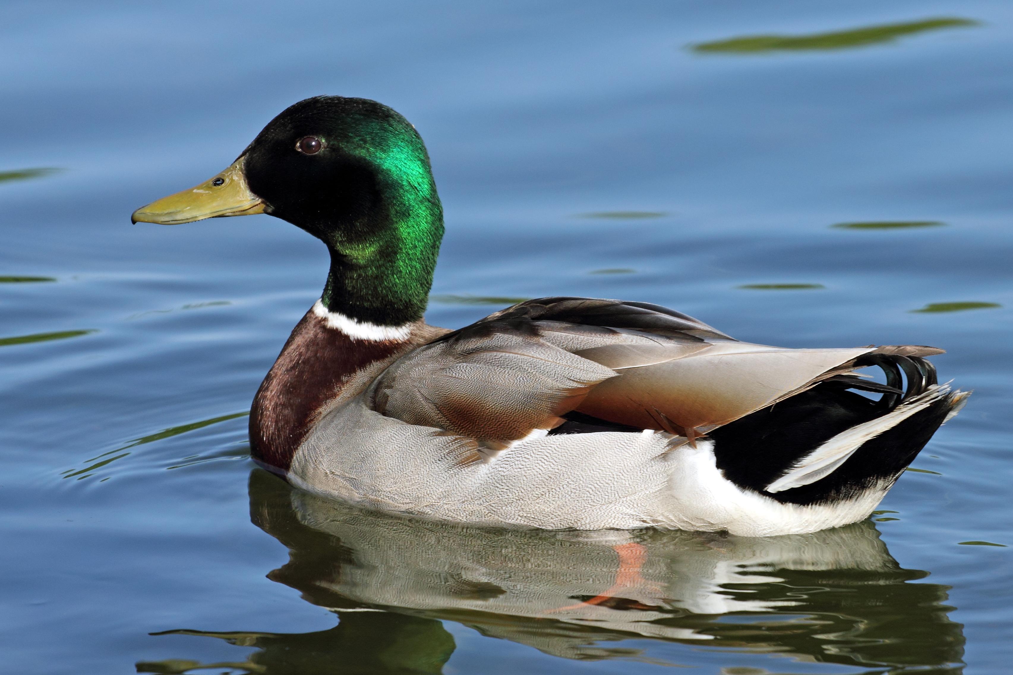 pics photos duck - photo #32