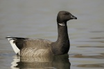 Black Brant Hunting in California