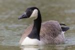 Goose hunting in California