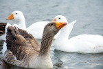 Image of white and dark geese in California