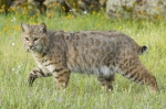 California trapping laws for bobcats.