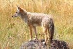 California trapping laws for nongame mammals, including coyote.