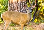California black-tailed deer hunting