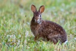Cottontail rabbit hunting