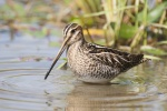 California rules and regulations for hunting snipe on national wildlife refuge, California wildlife areas, and California ecological reserves
