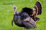 Image of Tom turkey