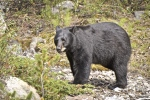 California trapping laws for the use of dogs to help trap black bear