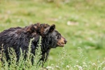 California trapping laws for Big Game, including Black Bear