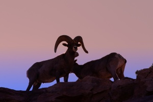 Desert Bighorn Rams at Sunset