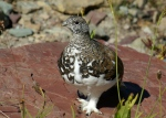 Proposed Regulatory Changes for the 2016-2017 Hunting Seasons for White-Tailed Ptarmigan