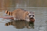 California rules and regulations for hunting raccoon on national wildlife refuges, State wildlife areas, and/or State ecological reserves