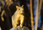 California small game hunting methods for tree squirrels.
