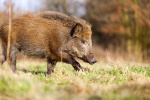California trapping laws for wild pigs