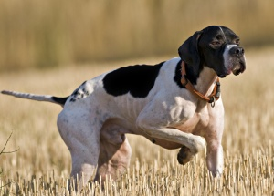 Hunting dogs for the California turkey hunting seasons