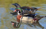 Proposed Regulatory Changes for the 2016-2017 Hunting Seasons for waterfowl, including ducks and geese