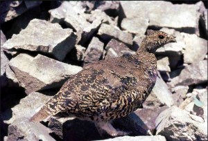 California White-Tailed Ptarmigan Hunting Seasons, bag limit, possession limit, hunting shooting hours, upland game bird stamp, hunting license, hunting areas, hunting methods of take, possession, transportation, forum blog, species, rules, regulations, and procedures.