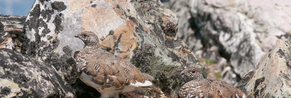 California White-Tailed Ptarmigan Hunting Seasons
