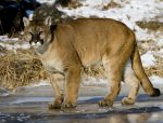 California trapping laws for Mountain Lion
